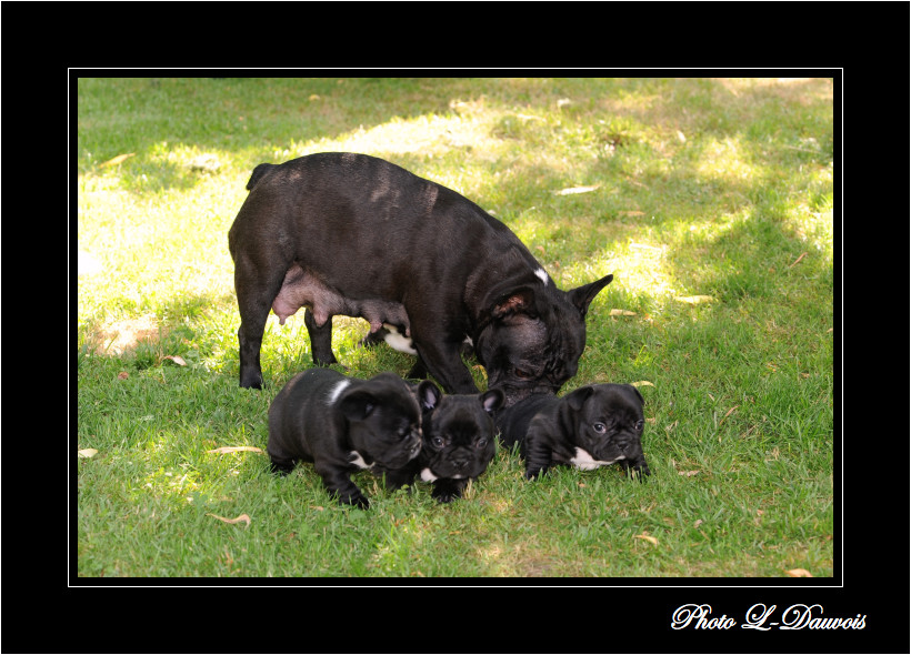 Bouledogue fran ais bulldogs anglais for Piscine miroir en anglais